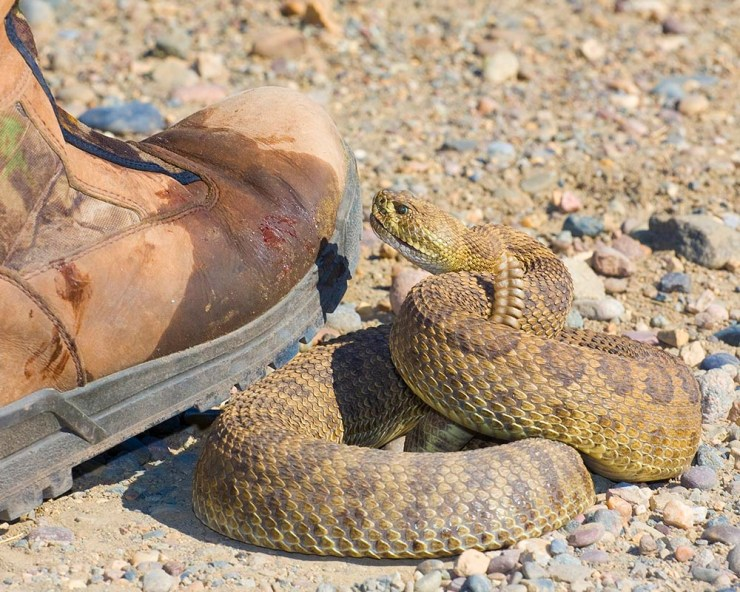 wildlife photography, snake, snake photography, striking rattlesnake, prairie rattlesnake, striking prairie rattlesnake, snake strike, Guy Sagi, Guy J. Sagi, Raeford North Carolina, Hoke County North Carolina