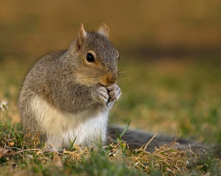 strobist squirrel, squirrel stuffing itself, wildlife photography, strobist photography, photography, Raeford North Carolina, Hoke County North Carolina, Guy Sagi, Guy J. Sagi
