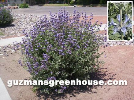 Chaparral/Mexican Sage