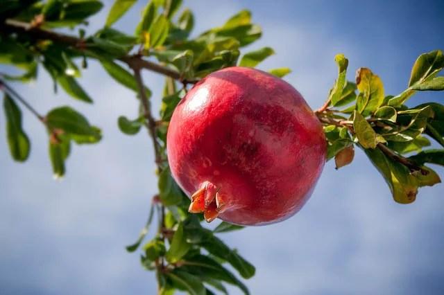 pomegranate tree southwest