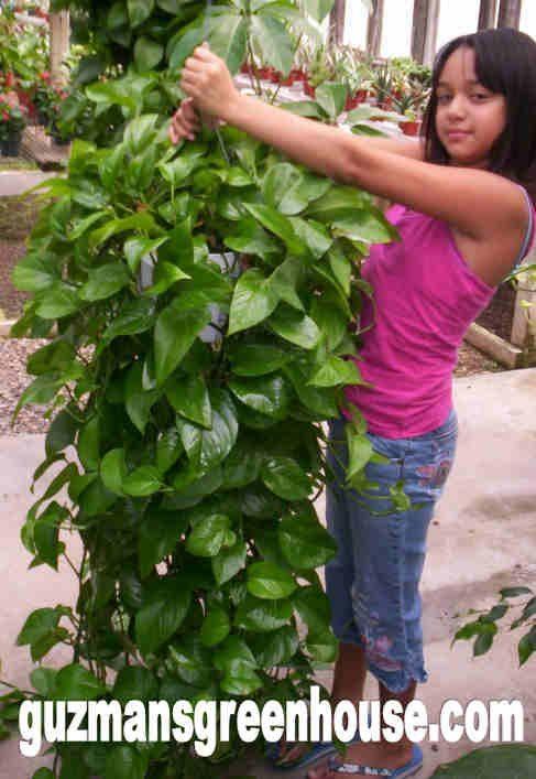 pothosplant e1511901740369