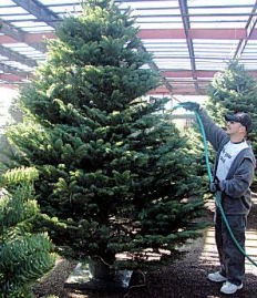 Las Cruces Christmas Trees
