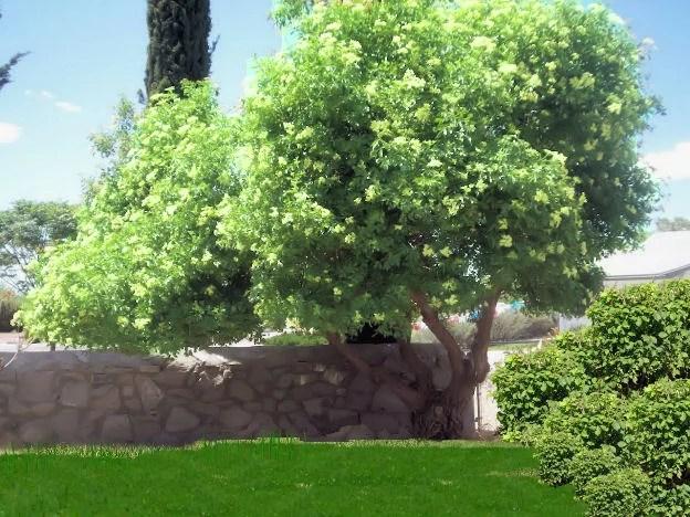 Mexican Elder Tree Southwest