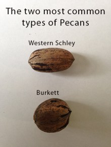 Types of pecan trees