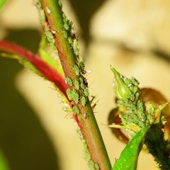 aphids-on-rose
