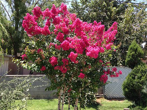 Crape Myrtle Photos