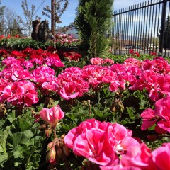 Spring Color Geraniums