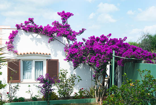 Mediterranean home with flowering bougainvillea