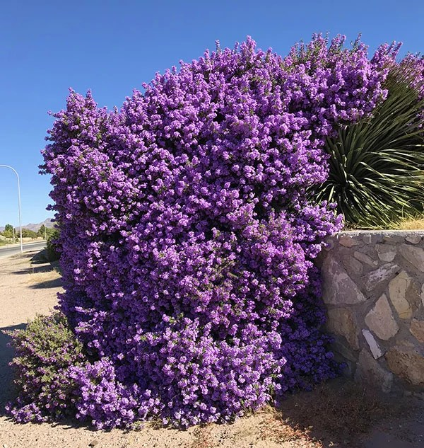 Texas Sage Bushes