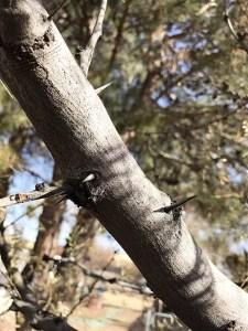 Thorns on tree