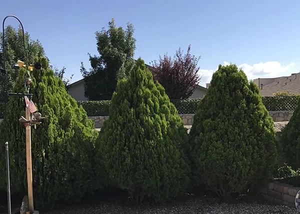 The Arborvitae tree