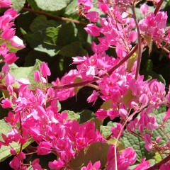 coral-vine-closeup