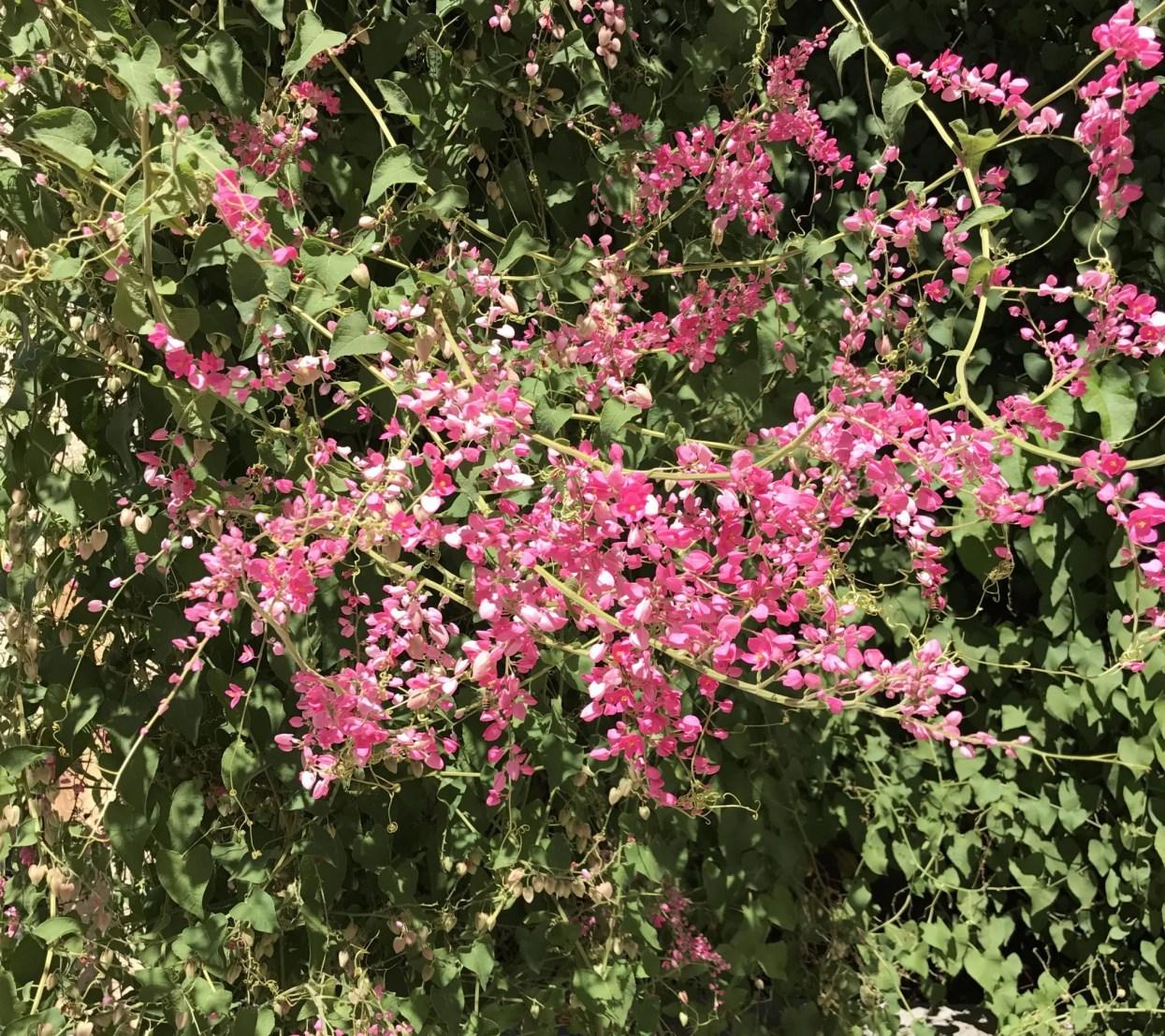 Coral Vine Plant Bright Pink Flowers Guzmansgreenhouse