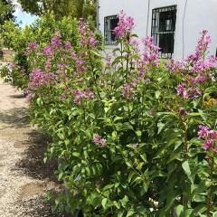 lilac-shrub