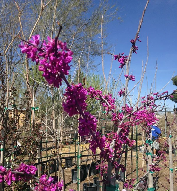 The Redbud Trees