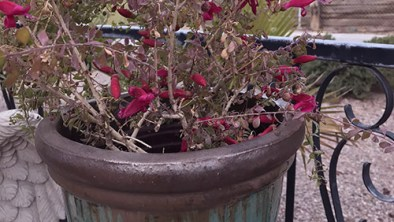 valentine-bush