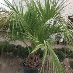 The Pindo Palm Tree