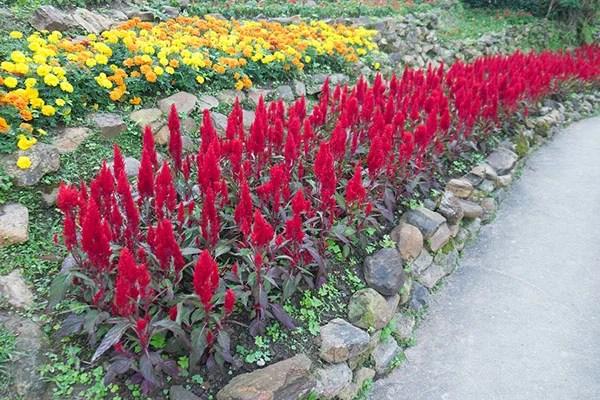Red plumed cockscomb flower or Celosia argentea blossom