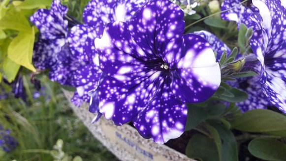 Colorful Petunia Plants