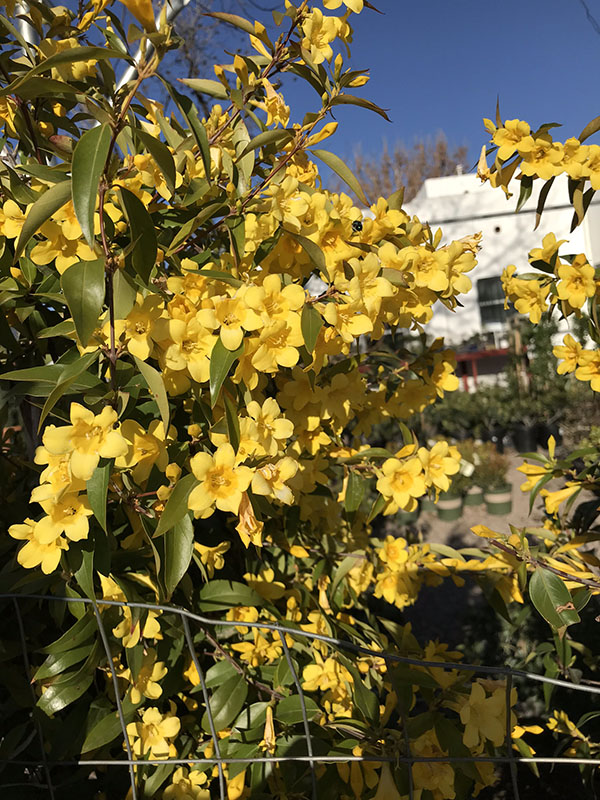 The Carolina Jessamine Vine