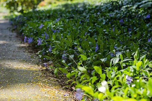 List of Ground Cover Plants