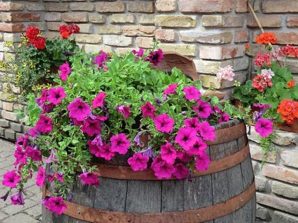 Colorful Petunias Plants