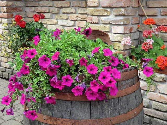 Colorful Petunia Plants Color Your World At Guzmansgreenhouse Com