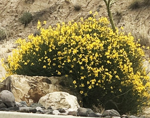 Spanish Broom Plant