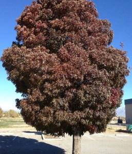 Raywood Ash Tree