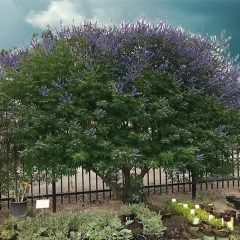 The Vitex Tree