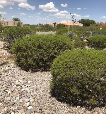 Desert Evergreen Shrubs