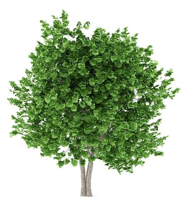 Ginkgo Bilboa Tree - A good tree for the Southwest
