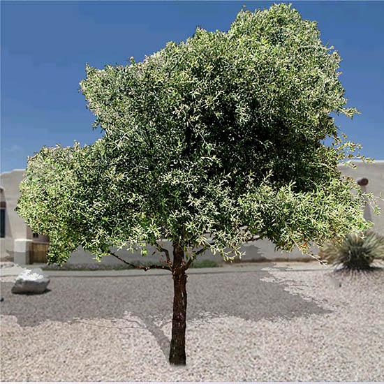 Quercus virginian