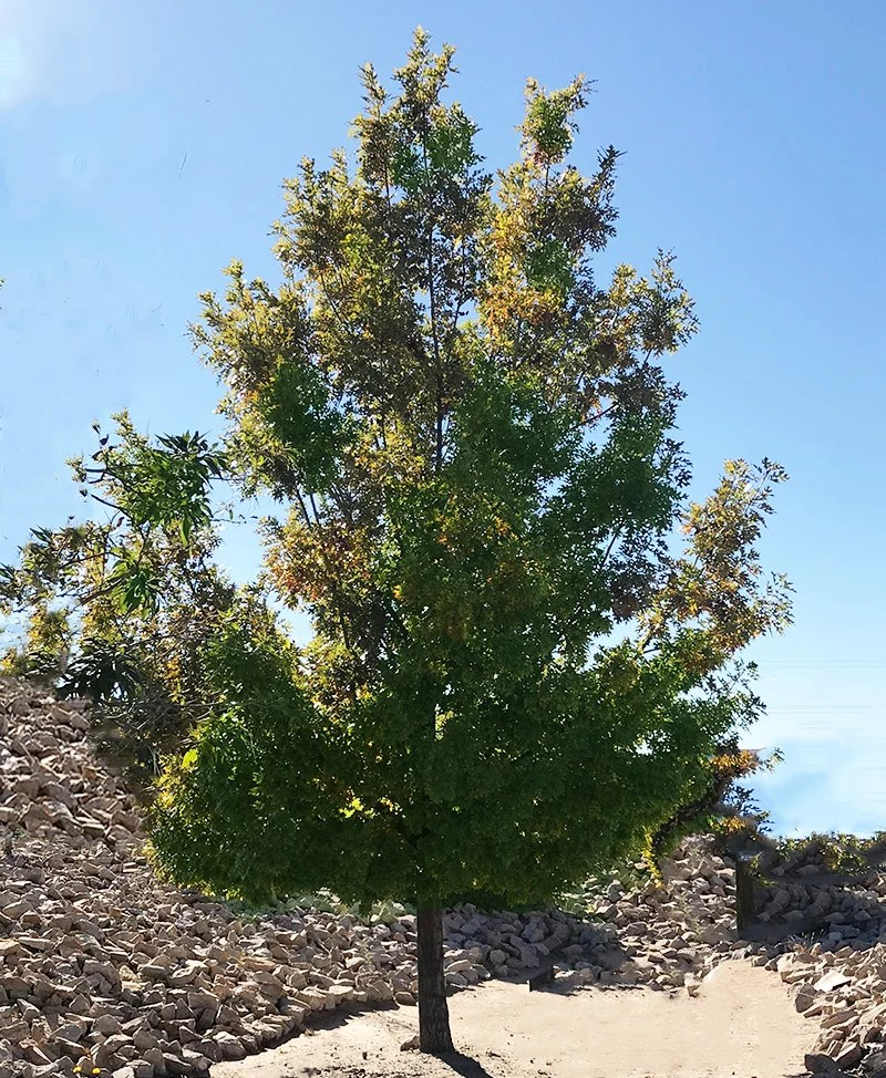Texas Red Oak Tree Information
