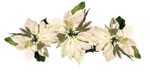 Poinsettia Plant Care