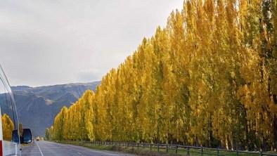 Poplar Trees Landscapine
