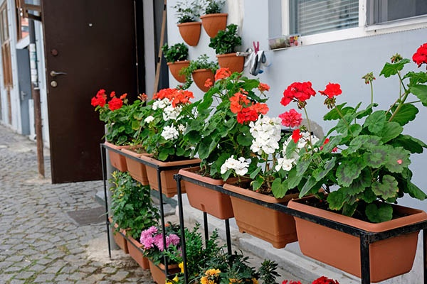 Geraniums in Containers - outdoors