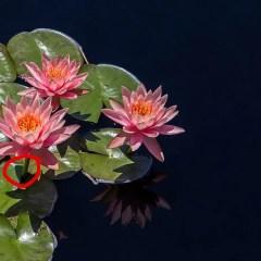 water-lotus-plant2