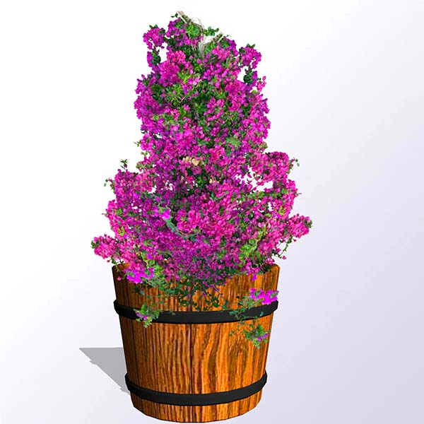 flowering-bougainvillea-barrell