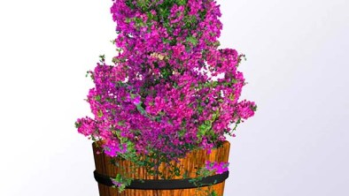 flowering-bougainvillea-barrell