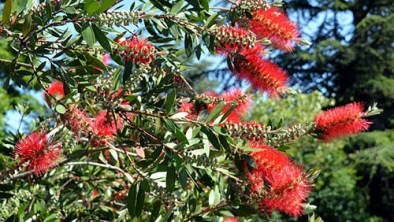 This a versatile plant that will produce dark red bottle brush-like blooms during the spring and into early summer. It is a drought-tolerant
