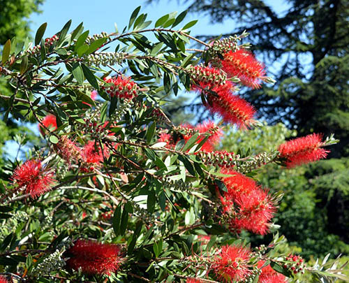 The Bottlebrush plant