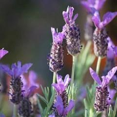 bunny-ears-lavender2