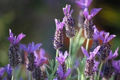 Bunny Ears Lavender