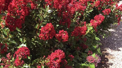 Red Crape Myrtles