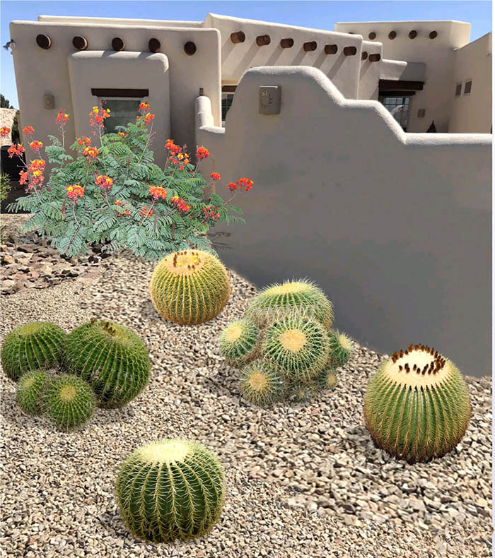 Golden Barrel Cactus Plant