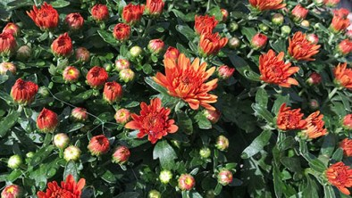 mums-crimson-red