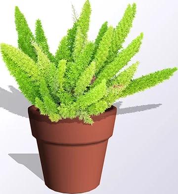 Asparagus Fern in a pot