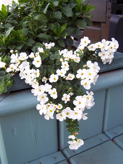 Bacopa Plants