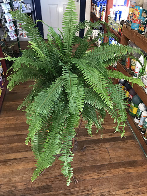 Indoor Fern Plant Care Fern Plant Care Guzman S Greenhouse